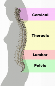 spine lumbar thoracic curve