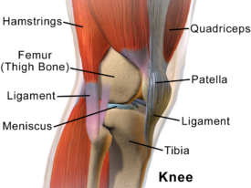 Knee anatomy Heather Lane Physical Therapy