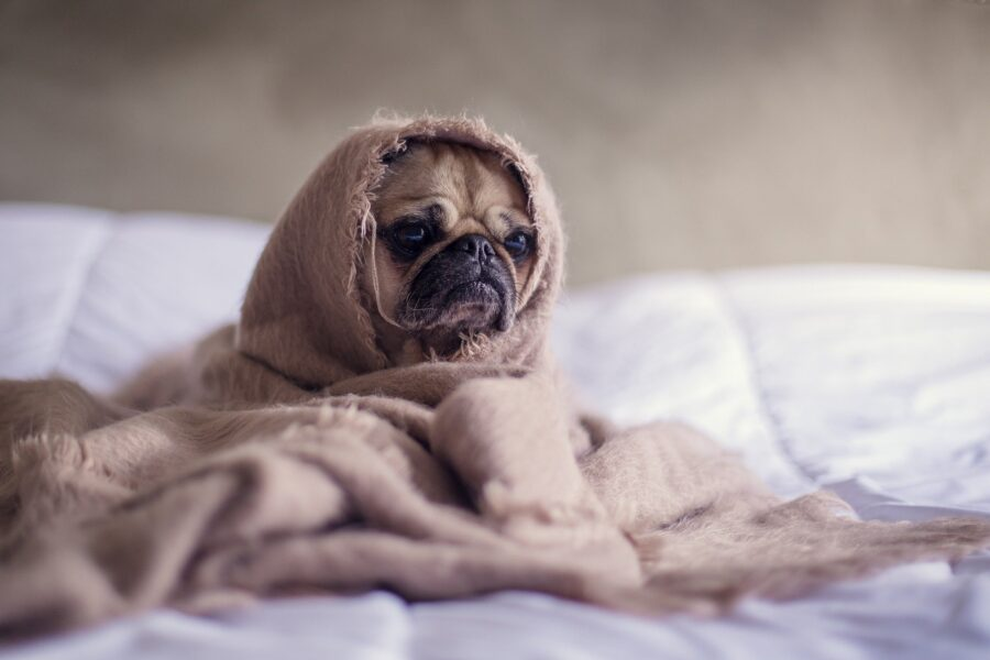 Dog in bed looking frustrated